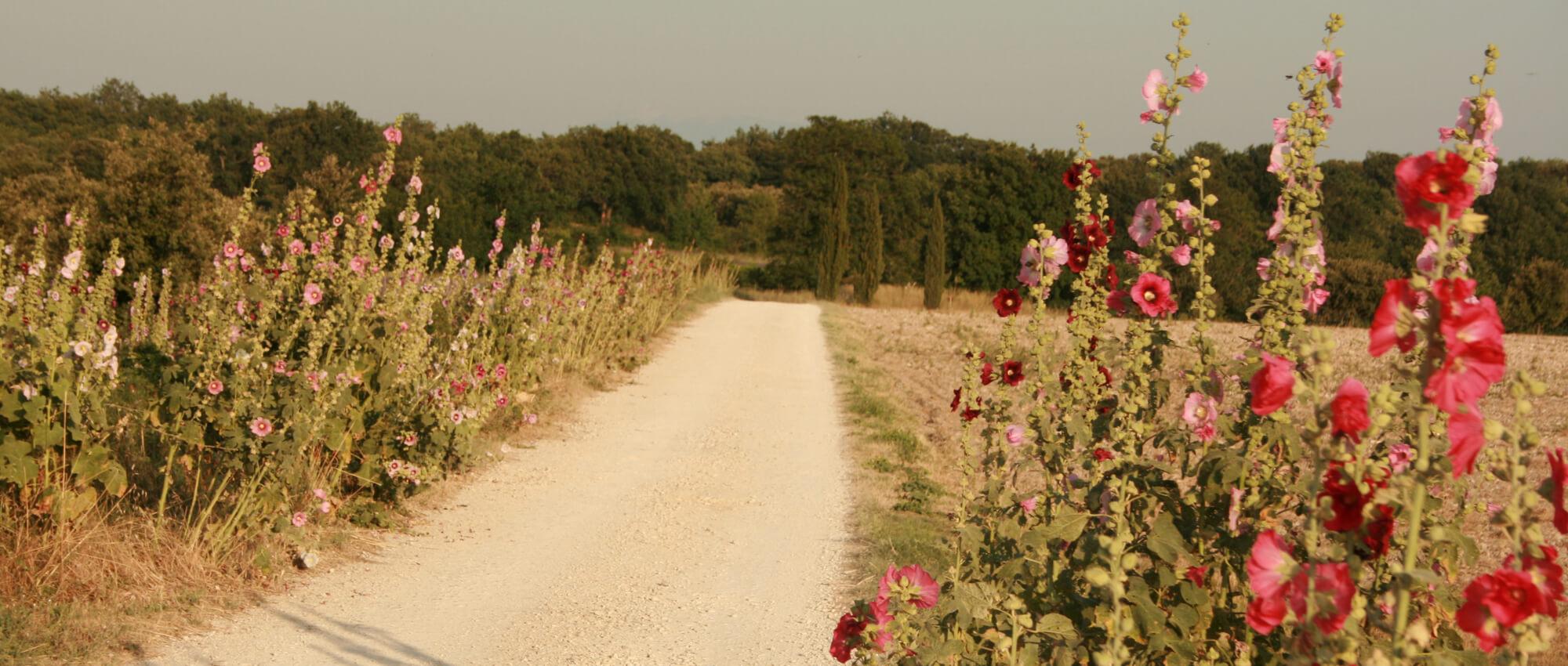 les roses trémières du chemin d'arrivée à font peyrins