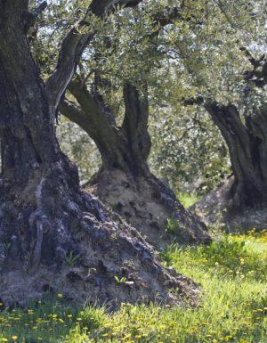 L'olivier en Drôme Provençale